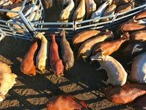 Vogelperspektive der Hinterland-Viehversammlung Stockfoto