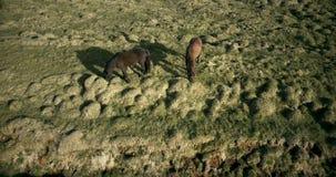 Vogelperspektive der Pferde, die auf das Lavafeld in Island gehen Wilde Tiere, die auf der grünen Wiese weiden lassen stock video