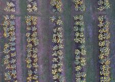 Vogelperspektive der Ringelblume im Garten Lizenzfreies Stockfoto