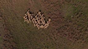 Vogelperspektive der Schafmenge stock video