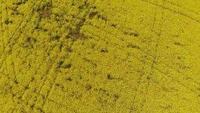 Vogelperspektive des gelben Feldes mit Vergewaltigung stock video