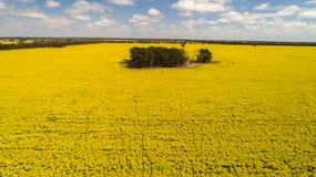 Vogelperspektive des hellen gelben Canola erntet umgebende Bäume auf Ackerland in Narromine, New South Wales, Australien Lizenzfreies Stockfoto