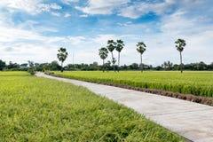 Vogelperspektive des langen konkreten Gehwegs auf dem grünen Reisgebiet Lizenzfreie Stockfotografie