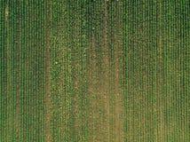 Vogelperspektive des Maiserntefeldes mit Unkraut stockbild