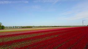 Vogelperspektive des mehrfarbigen Tulpenfelds stock footage