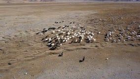 Vogelperspektive des mongolischen Viehs und der Schafe, die zum Stall laufen stock footage