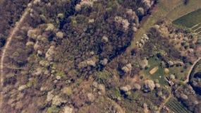 Vogelperspektive des Waldes mit den wilden Kirschen, die in Frühling aufwecken stockfoto