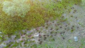 Vogelperspektive einer Herde der Ziegen, die auf dem Berg bei Sonnenuntergang essen stock video