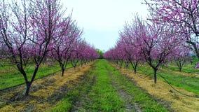 Vogelperspektive eines Blühens der Obstbäume in der Landschaft Pfirsich-, Pflaumen- und Nektarinenbäume stock video