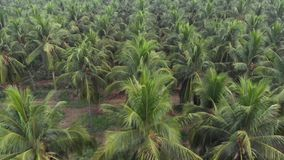 Vogelperspektive eingelassenen Nahaufnahmeschusses der Kokosnuss des Bauernhof in der FPV-Effekt-erstpersonenansicht stock video footage