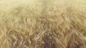 VOGELPERSPEKTIVE: Flug über dem schönen sonnenbeschienen Weizenfeld im Sonnenuntergang stock video