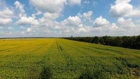 VOGELPERSPEKTIVE: Flug über dem Sonnenblumenfeld stock footage