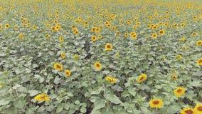 Vogelperspektive: Flug über einem schönen Sonnenblumenfeld stock video