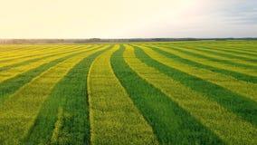 Vogelperspektive-landwirtschaftliches Feld gepflanzt mit den gelben und grünen Streifen der Vergewaltigung stock footage