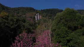 Vogelperspektive Siriphum-Wasserfall mit Kirschblütenblumen in Thailand stock video