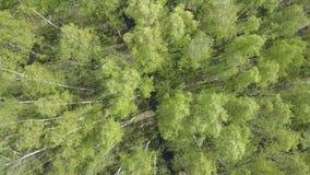 Vogelperspektive vom Brummen auf dem Birkenholz am sonnigen Tag des Sommers stock video footage