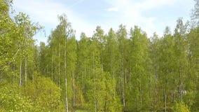 Vogelperspektive vom Brummen auf dem Birkenholz am sonnigen Tag des Sommers stock footage