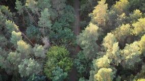Vogelperspektive vom Brummen zum roten Auto-Reiten entlang der Straße in einem Kiefern-Wald stock video