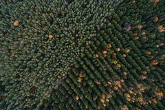 Vogelperspektive von bunten Koniferenwaldplantagen Stockfotografie