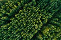 Vogelperspektive von grünen Koniferenwaldplantagen stockfotos