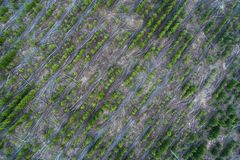 Vogelperspektive von jungen Koniferenbaumplantagen lizenzfreie stockbilder