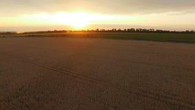 Vogelperspektive von reifen goldenen Weizenfeldern auf überraschendem Sonnenuntergang stock video