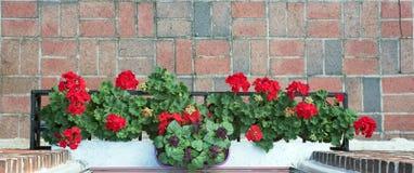 Vogelperspektive von roten Pelargonien im Blumenkasten stockbilder