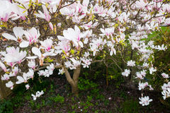 Vogelperspektive von weißen und rosa Magnolien-Blumen Stockbild