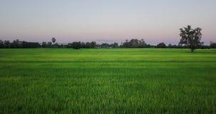 Vogelperspektiveflug über den Reisfeldern stock video