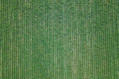 Vogelperspektivesojabohnenfeld Junge Sojabohnen-Vogelperspektive stockfotos