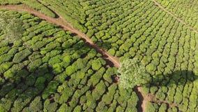 Vogelperspektiveteeplantagen von Indien Kerala-Staat Nahe dem See Matupetty stock video footage