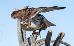 Vogelraubvögel in Tucson Arizona stockbild