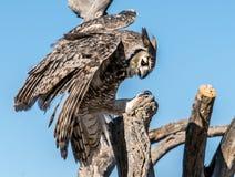 Vogelroofvogels in Tucson Arizona royalty-vrije stock afbeeldingen