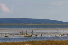 Vogels bij DALINOR-Meer in Binnenmongolië royalty-vrije stock foto