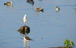Vogels bij Randarda-Meer, Rajkot, Gujarat stock foto's