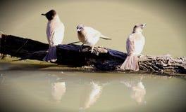 Vogels bij waterhole Stock Foto's