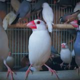 Vogels in de kooi Royalty-vrije Stock Afbeelding