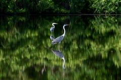 Vogels in de mangrove Stock Afbeelding