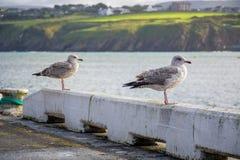 Vogels die bij de kustlijn in Douglas, het Eiland Man ontspannen royalty-vrije stock fotografie