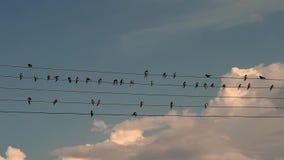 Vogels die bij draden en het tjilpen zitten stock video