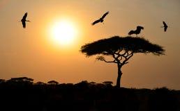 Vogels die boven acaciaboom bij zonsondergang in Afrika vliegen Royalty-vrije Stock Afbeelding