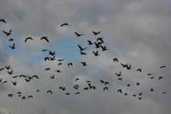 Vogels die in de hemel vliegen Royalty-vrije Stock Fotografie