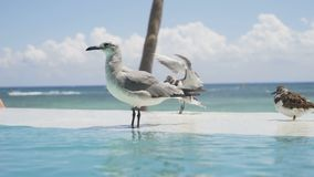 Vogels die in de pool zwemmen Oneindige pool tegen de achtergrond van de Cara?bische Zee 4K stock videobeelden