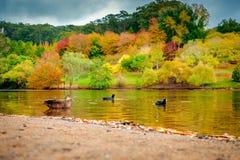 Vogels die in de vijver van het de herfstpark zwemmen royalty-vrije stock afbeelding