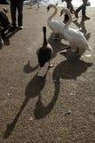 Vogels die ongeveer door de Kronkelweg in Londen lopen Royalty-vrije Stock Foto