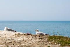 Vogels die op een klippenrand rusten Stock Fotografie