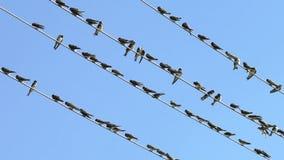 Vogels die op elektrische draden zitten stock video