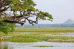 Vogels die op grote boom tegen moeras zitten Stock Foto's