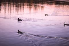 Vogels die op het meer in het park drijven Royalty-vrije Stock Afbeelding