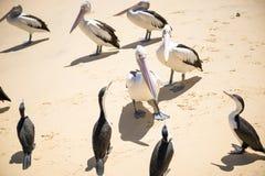 Vogels die op het strand rusten Stock Afbeeldingen
